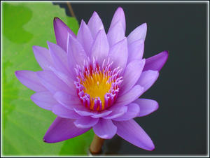 Blooming lotus in peaceful mind...